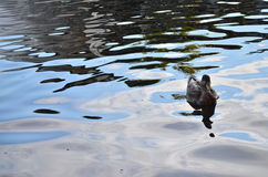 Eine Ente in einem Enteteich Lizenzfreie Stockfotos
