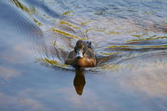 Eine Ente geht nach Hause zurück Lizenzfreie Stockbilder