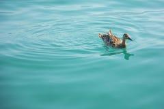 Eine Ente in Genfersee auf einem sonnigen, Sommer-Tag Stockfotografie