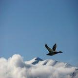 Eine Ente im Flug Lizenzfreie Stockbilder