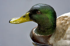 Eine Ente im Grau Lizenzfreie Stockfotografie