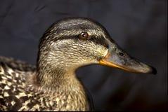 Eine Ente im Schwarzen Lizenzfreies Stockbild
