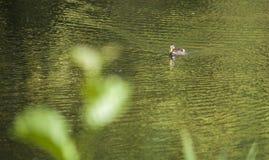 Eine Ente im Sonnenschein Stockbild