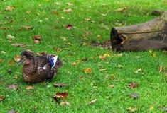 Eine Ente mit einem Büschel Stockfoto
