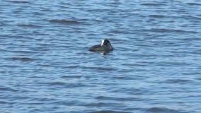 Eine Ente schwimmt auf dem Teich stock video