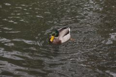 Eine Ente schwimmt in das Wasser Lizenzfreie Stockfotos