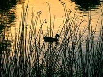 Eine Ente schwimmt im Teich Stockfoto