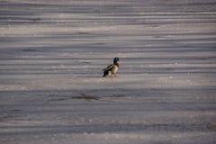 Eine Ente Stockente auf dem Eis in der Sonne stockfotografie