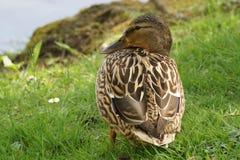 Eine Ente Stockente, nur mit der Sonne stockbilder