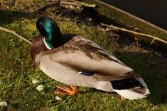 Eine Ente Stockente, nur mit der Sonne lizenzfreies stockfoto