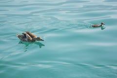 Eine Ente und ein Entlein in Genfersee auf einem sonnigen, Sommer-Tag Lizenzfreies Stockfoto