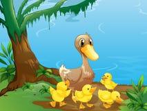 Eine Ente und ihre Entlein am Riverbank Lizenzfreie Stockfotos