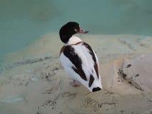 Eine Ente ungefähr, zum eines Bades zu nehmen Lizenzfreie Stockfotos