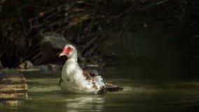 Eine Entenreinigung im wasser- von einer Reihe Stockbild