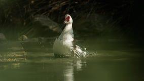 Eine Entenreinigung im wasser- von einer Reihe Stockfoto