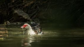 Eine Entenreinigung im wasser- von einer Reihe Lizenzfreie Stockbilder