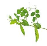 Eine Erbse das grüne Wachsen auf einem Zweig Lizenzfreie Stockbilder