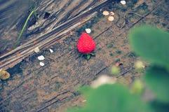 Eine Erdbeere fallen gelassen auf Boden Stockfotos