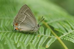 Eine erstaunliche purpurrote Hairstreak-Schmetterling Favonius-Eiche, die auf Adlerfarn im Waldland hockt Lizenzfreie Stockfotografie