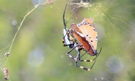 Gefährliche Insekten von Afrika - goldene Kugel-Netz-Weber-Spinnen-Tötungen Stockfotos