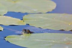 Eine europäische Teichdosenschildkröte stockfoto