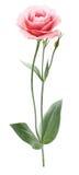 Eine Eustomablume stockbild