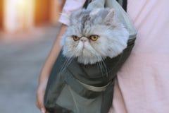 Eine exotische Katze in den kurzen Pelztaschen Und der Inhaber nahm es zum Dorf lizenzfreie stockbilder