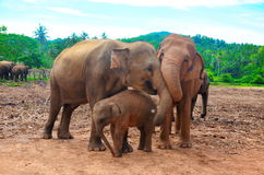 Eine Familie der Elefanten Sri Lanka Stockfotografie