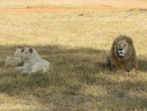 Eine Familie der lionÂs lizenzfreies stockfoto
