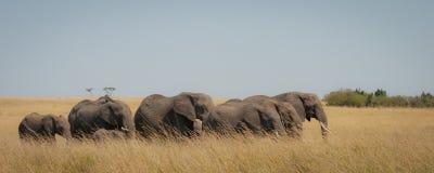 Eine Familie von den Elefanten, die durch die Savanne gehen stockfoto