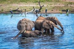 Eine Familie von den Elefanten, die vom Chobe-Fluss, Botswana trinken Lizenzfreie Stockfotografie