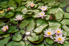 Eine Familie von den rosa waterlilies, die auf einen Teich schwimmen Lizenzfreie Stockbilder
