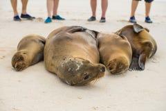 Eine Familie von den Seelöwen beobachtet von den Touristen Stockfoto