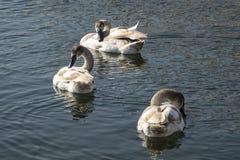 Eine Familie von Höckerschwäne Cygnus olor auf dem See in Goryachiy Klyuch stockfotos