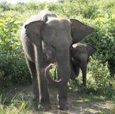 Eine Familie von liebevollen Elefanten Stockfoto