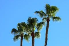Eine Familie von Palmen Lizenzfreie Stockfotografie