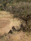 Eine Familie von Pavianen Lizenzfreies Stockfoto