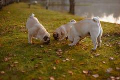 Eine Familie von Pugs schnüffelnd im grünen Gras stockfotografie
