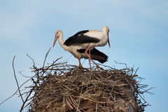 Eine Familie von Störchen bereitet ihr Nest vor stockbilder