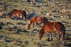 Eine Familie wilde Pferdedes essens lizenzfreie stockbilder