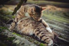 Eine farbige schwangere Katze der getigerten Katze leckt seinen Pelz auf einem alten Dach, das mit Moos bedeckt wird stockfoto