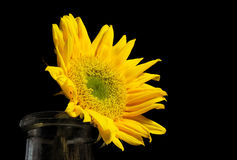 Helle Sonnenblume in einer alten Flasche auf einem schwarzen Hintergrund Lizenzfreie Stockfotografie