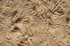 Eine Feder auf Sand mit Vogel-Abdrücken Lizenzfreie Stockfotografie
