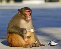 Eine fette Affe Esting-Eiscreme stockfotos