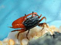 Eine Fiedler-Krabbe mit einer großen Schere lizenzfreies stockfoto