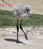 Eine Flamingo-Chick Ventures Out From Its-Mutter Stockbild