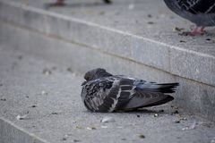 Eine flaumige gekräuselte kranke Taube stockfotografie