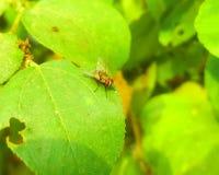 Eine Fliege auf einem grünen Blatt Stockfotografie