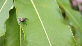Eine Fliege, die auf einem Blattmakroschuß sitzt lizenzfreie stockfotografie