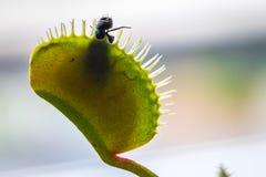 Eine Fliege gefangen in Venus Flytrap Lizenzfreie Stockfotos
